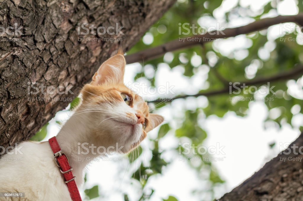 Cute white-and-red cat in a red collar on the tree. Cat is staring at something stock photo