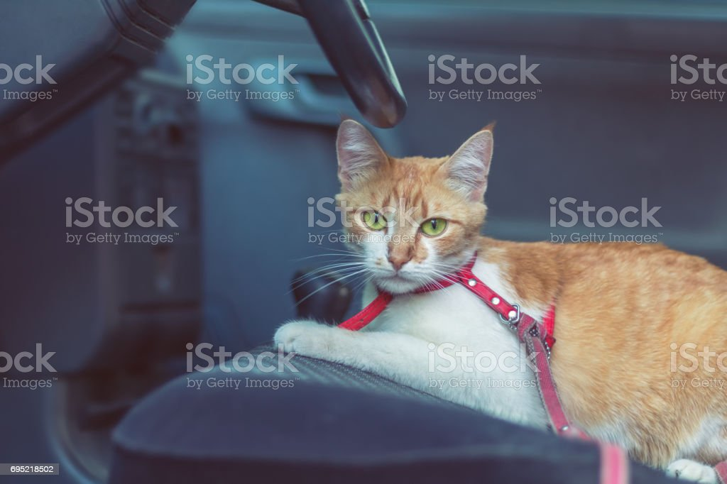 Cute white-red cat in a red collar stock photo