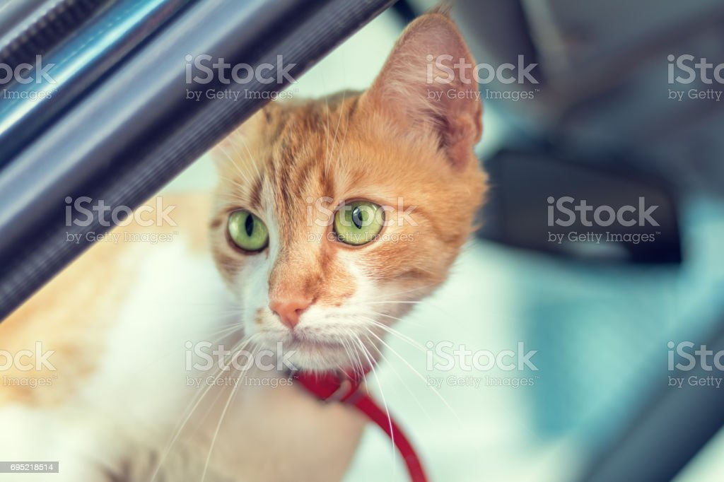 Cute white-red cat in a red collar royalty-free stock photo