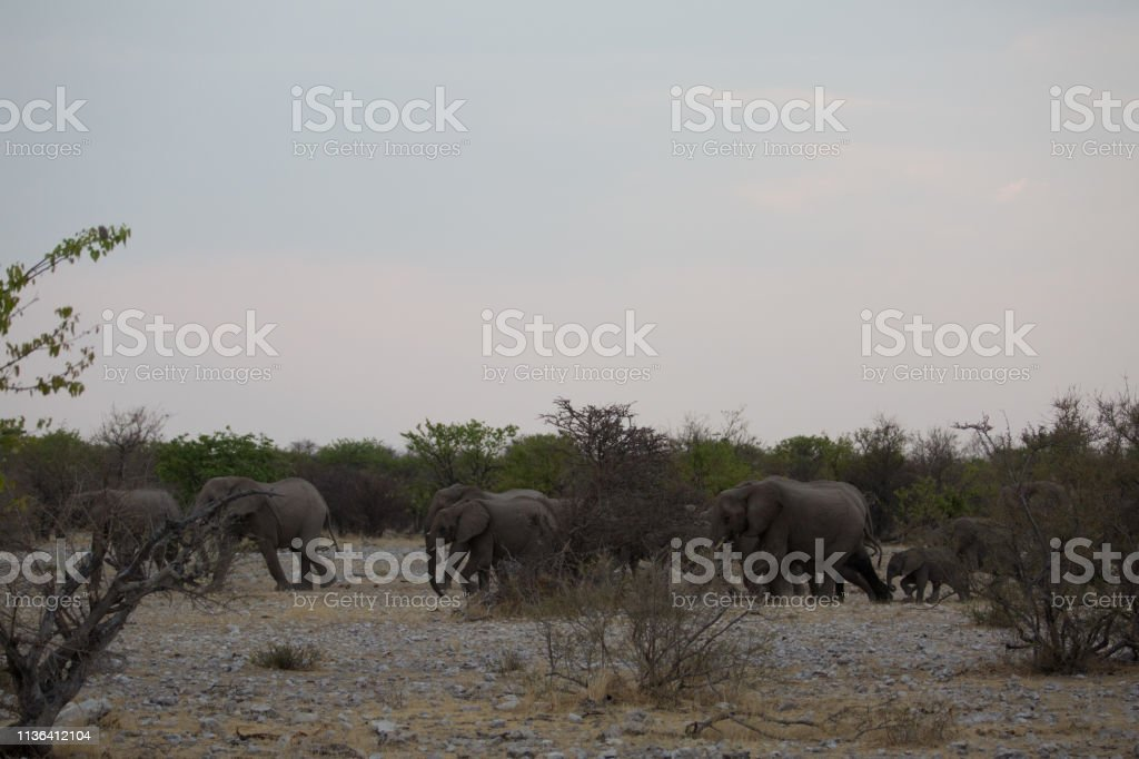 a big elephant family in africa is walking around for eating and...
