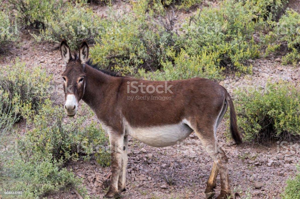 Bonito Burros selvagens no deserto - foto de acervo