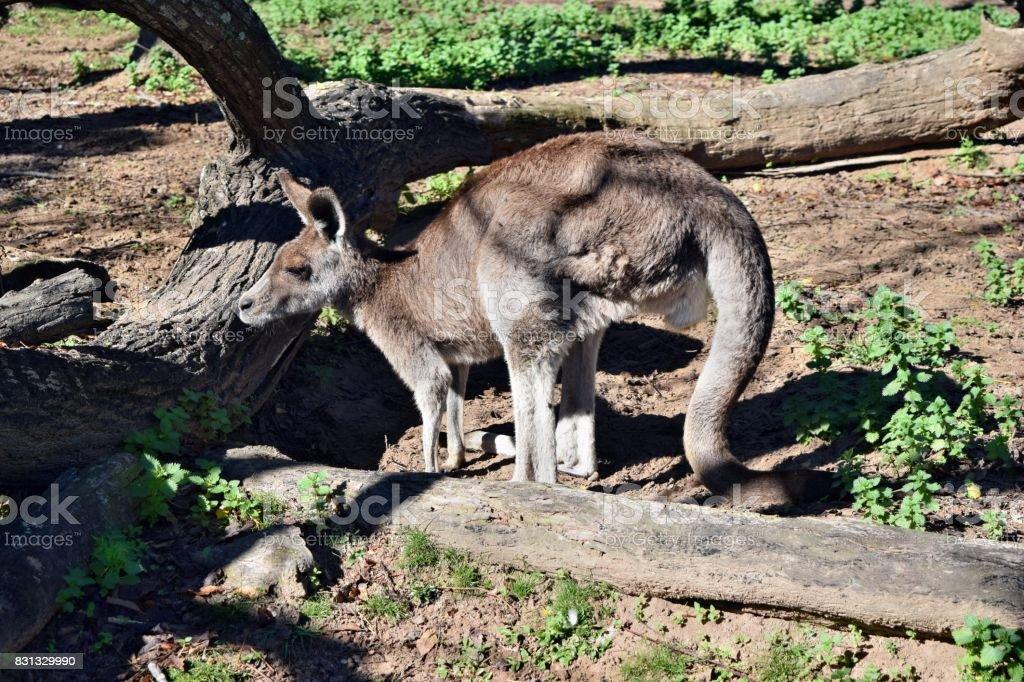 Cute wild grey kangaroo standing stock photo