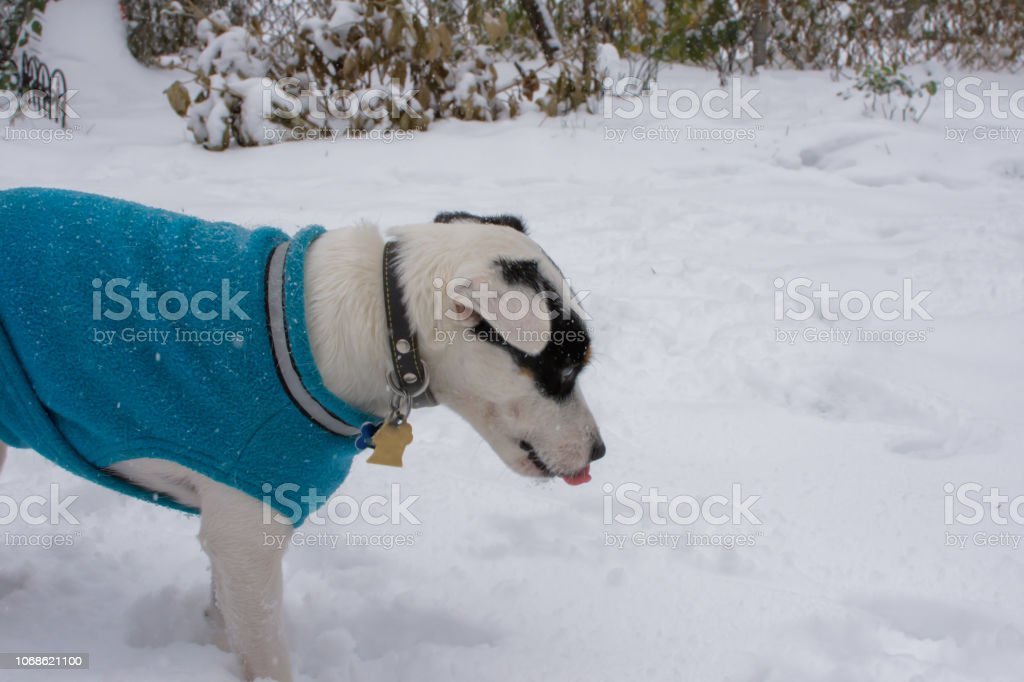 Cute winter dog in snow with tongue out licking snowflakes stock photo