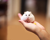 Young girl holding her first pet hamster