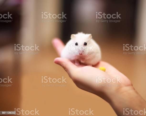 Cute winter white dwarf hamster on the owner hand is being fed with picture id931139202?b=1&k=6&m=931139202&s=612x612&h=7ho xw9r6586j7m8uc5xt5mcyqogbagt8gshyqszndy=
