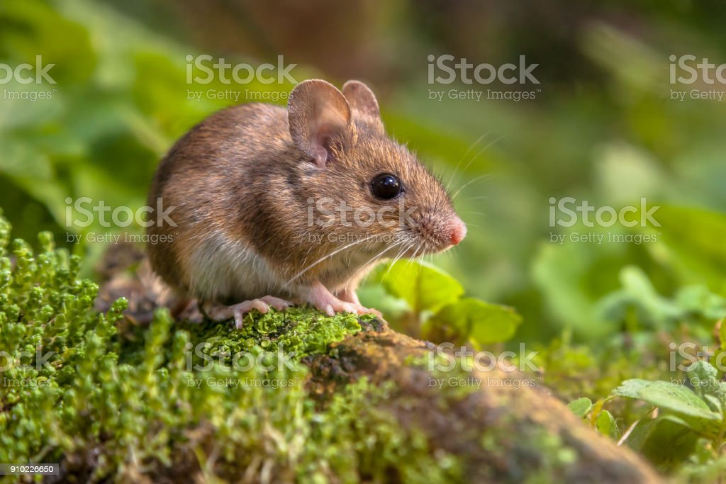 Cute Wood mouse in natural habitat stock photo