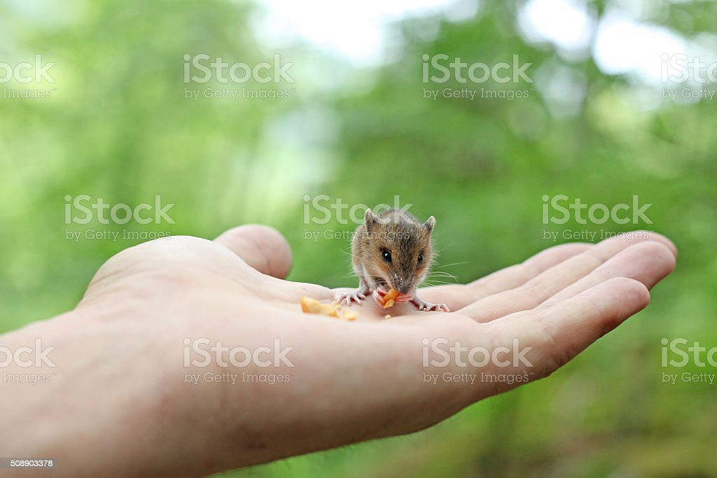 Cute wood mouse sitting on hind legs stock photo