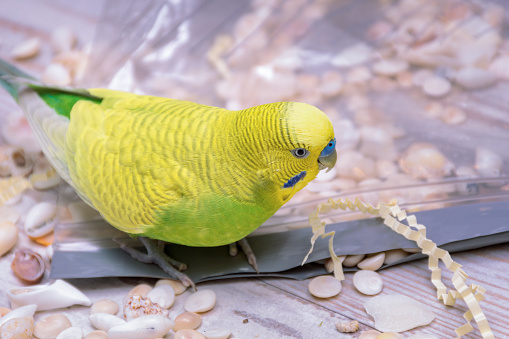Cute Yellow and Green Male Budgie Playing with Small Sea Shells