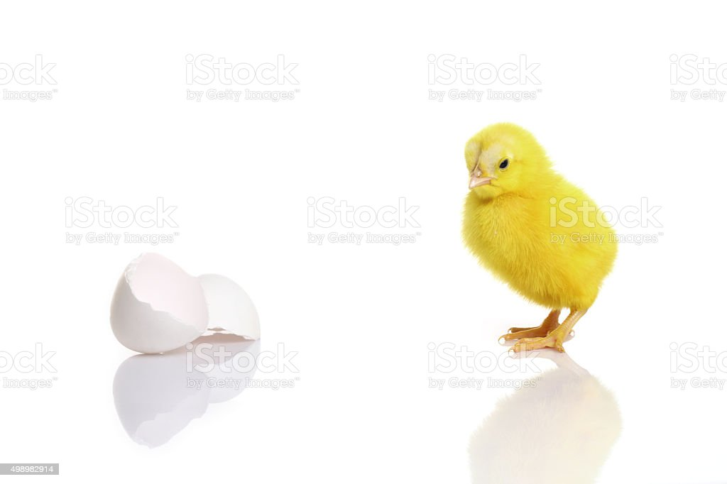 Cute yellow baby chick with egg shell stock photo