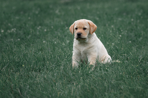 cute yellow puppy Labrador Retriever isolated on a background of green grass