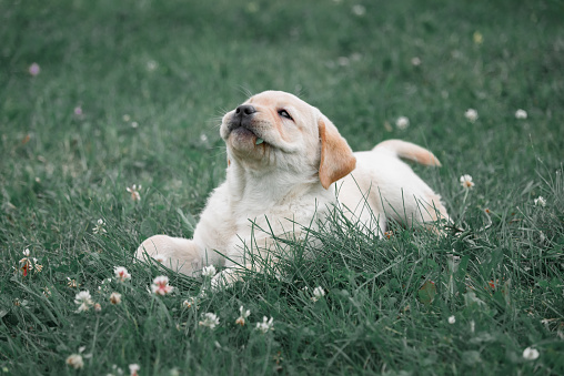 cute yellow puppy Labrador Retriever lies on a background of green grass