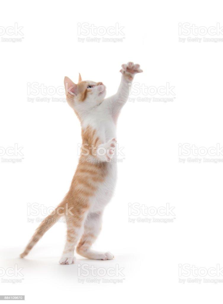 Cute yellow tabby kitten on white stock photo