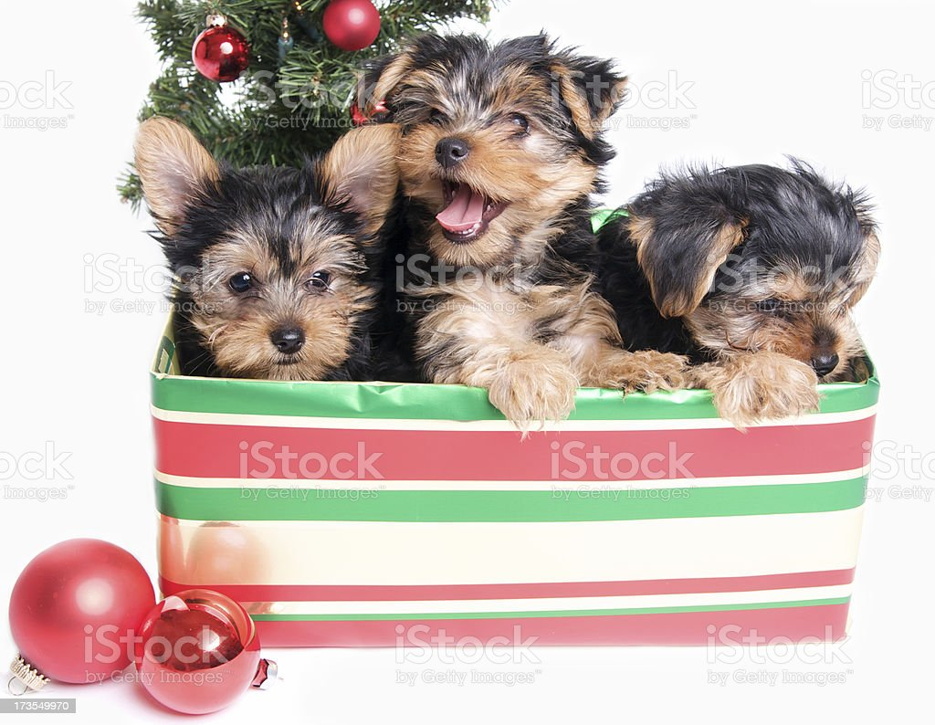 Cute Yorkie Puppies In A Christmas Gift Box Stock Photo Download Image Now Istock