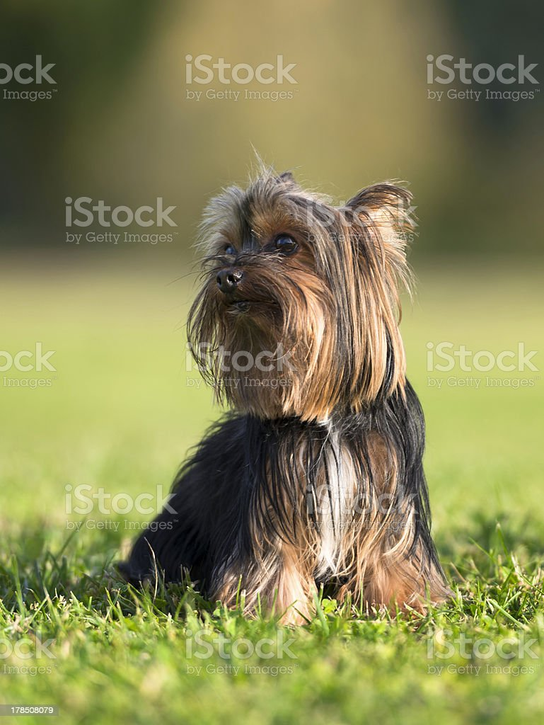 Cute Yorkshire Terrier poses royalty-free stock photo