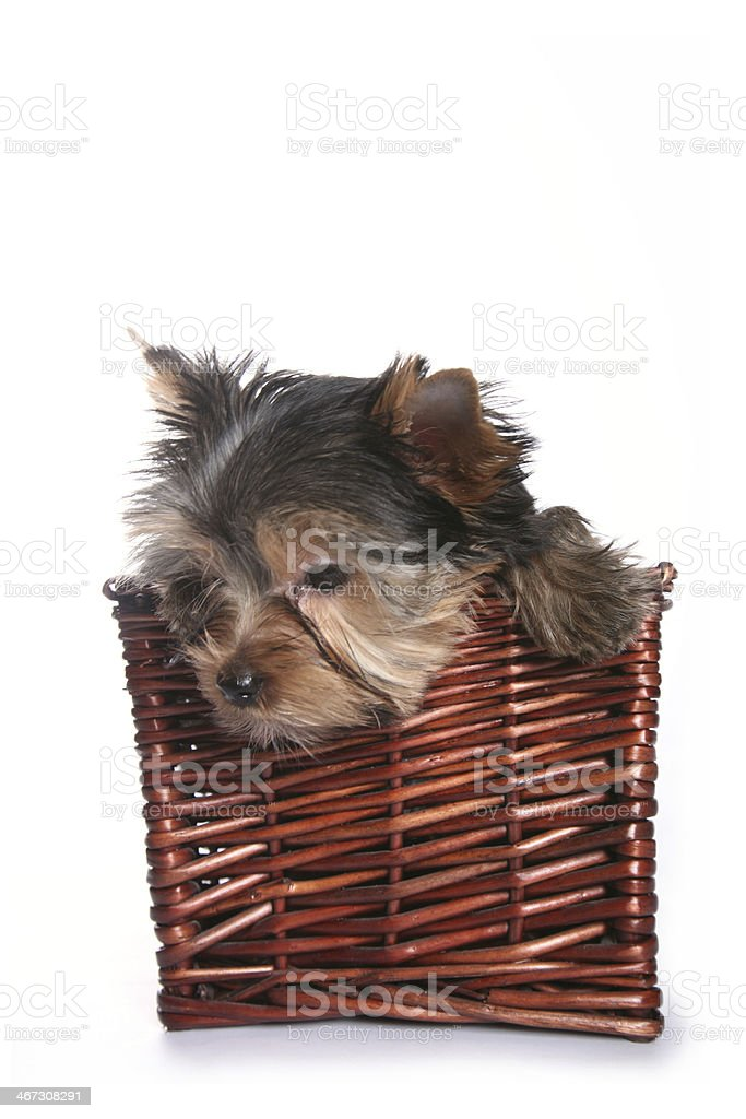 Cute Yorkshire Terrier Puppy in basket looking down royalty-free stock photo