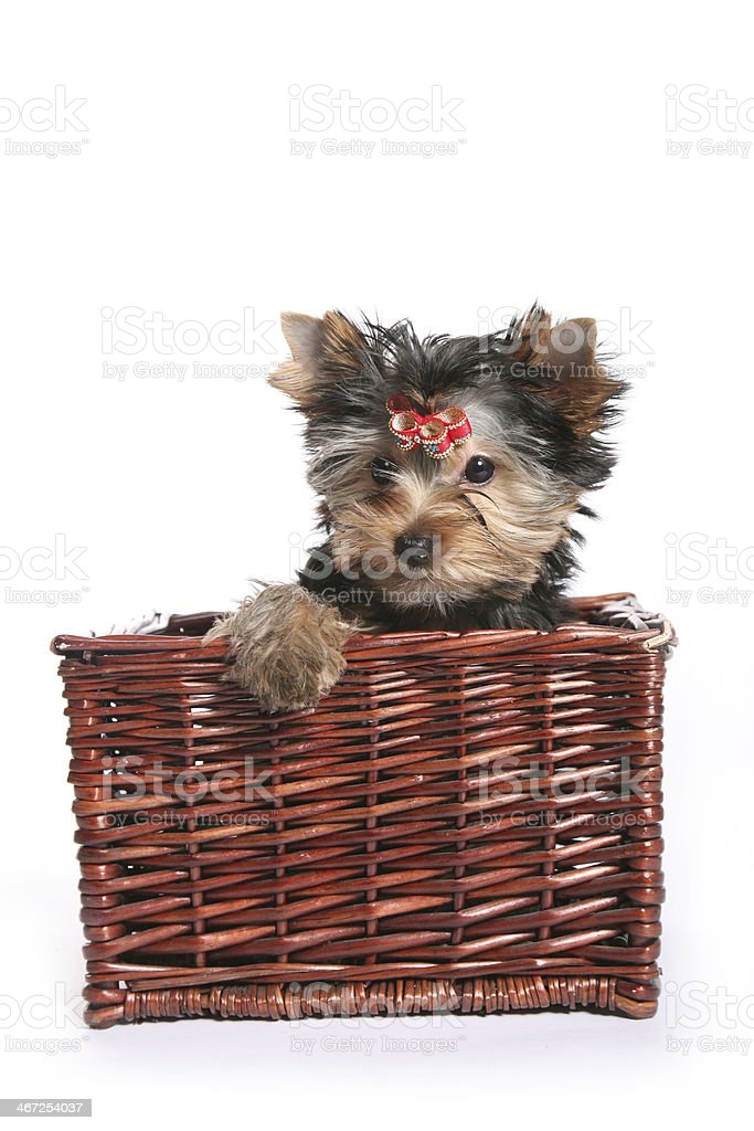 Cute Yorkshire Terrier Puppy in basket paw out royalty-free stock photo