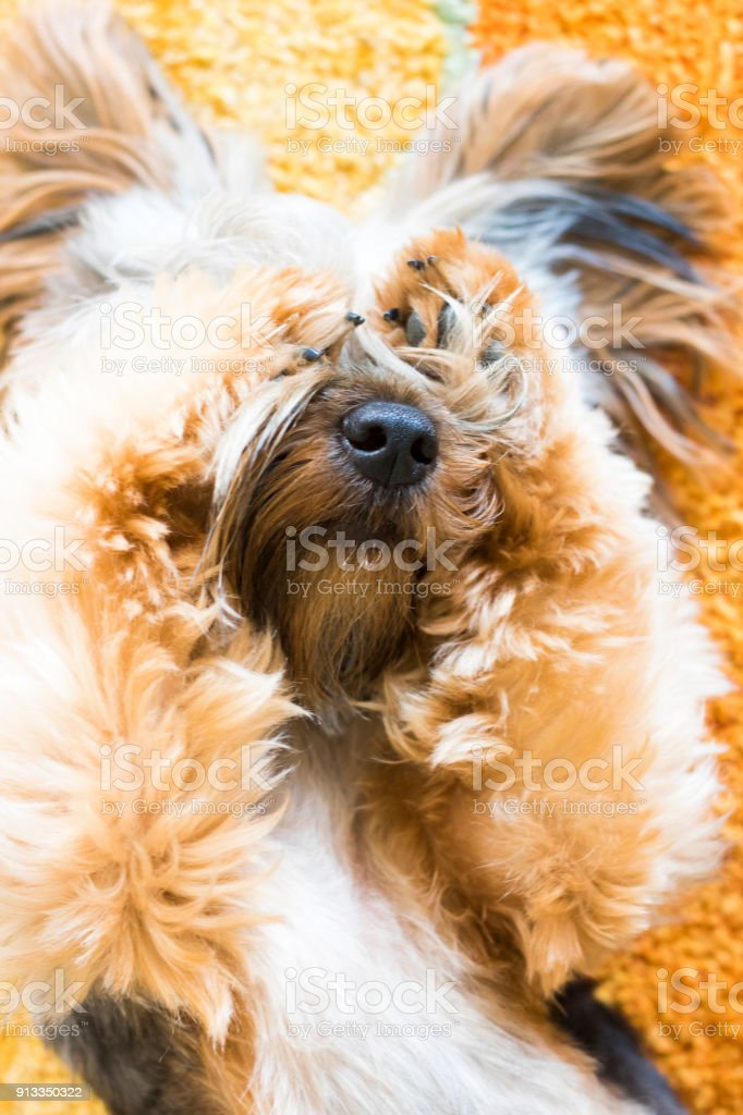 Yorkshire Terrier puppy on a orange carpet being cute.