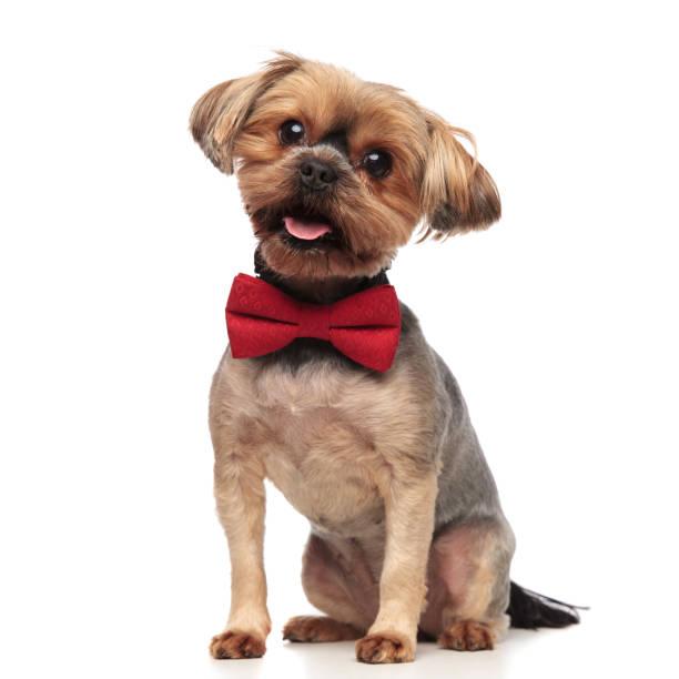Cute yorkshire terrier wearing red bowtie on white background picture id1174961053?b=1&k=6&m=1174961053&s=612x612&w=0&h=idz1zburtsemxixcguyjyijtfngi fnma fmoaqutx0=