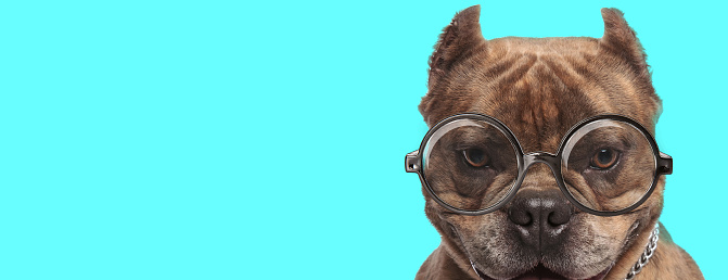 istock cute young American Bully dog wearing eyeglasses 1224202398