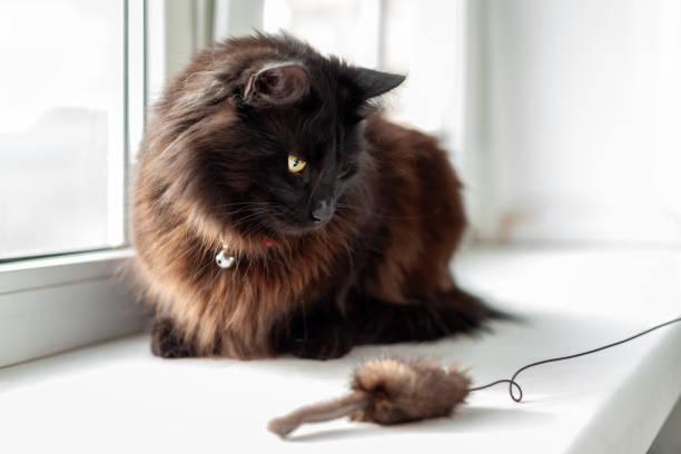 Cute young black cat sitting on windowsill and looking to the toy picture id1286873960?b=1&k=6&m=1286873960&s=612x612&w=0&h=dqxtge4sz4myowhglm0zvdyfamdebxnyycj pss6yku=