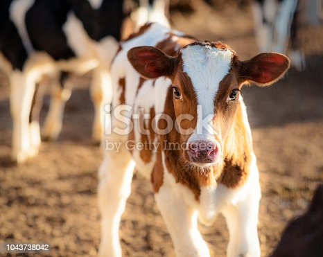 A cute young dairy calf looking at the camera.