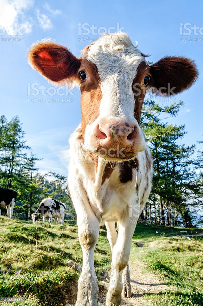 Cute young calf stock photo