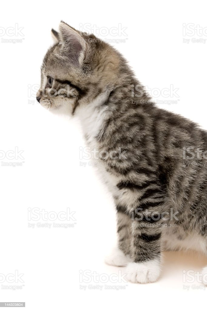 Cute young cat royalty-free stock photo