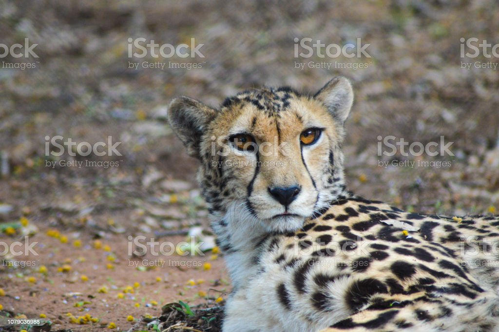 A cute young Cheetah in a conservation area stock photo