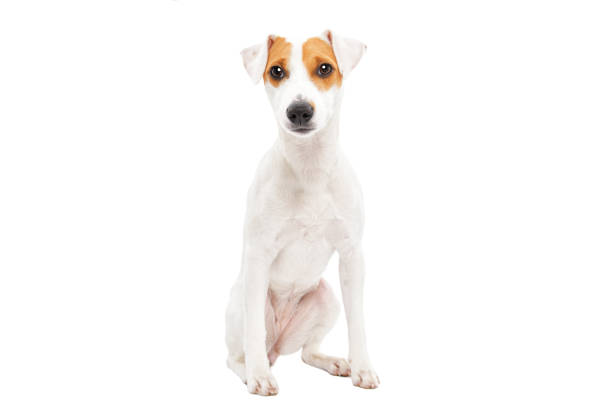 Cute young dog jack russell terrier picture id1139896039?b=1&k=6&m=1139896039&s=612x612&w=0&h=xozqcfeb9mw5gqdpehuxjsey ck6iibfiud9pqclrlk=