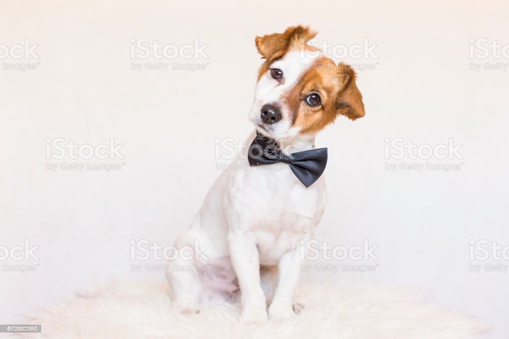 cute young dog over white background wearing a bowtie and looking at the camera. Love for animals concept stock photo
