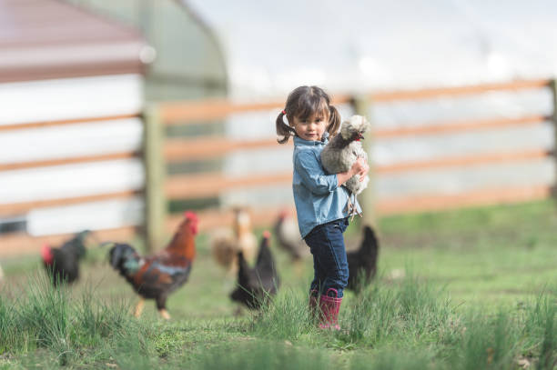 cute young ethnic girl walks around family farm carrying a live chicken - rural lifestyle stock photos and pictures