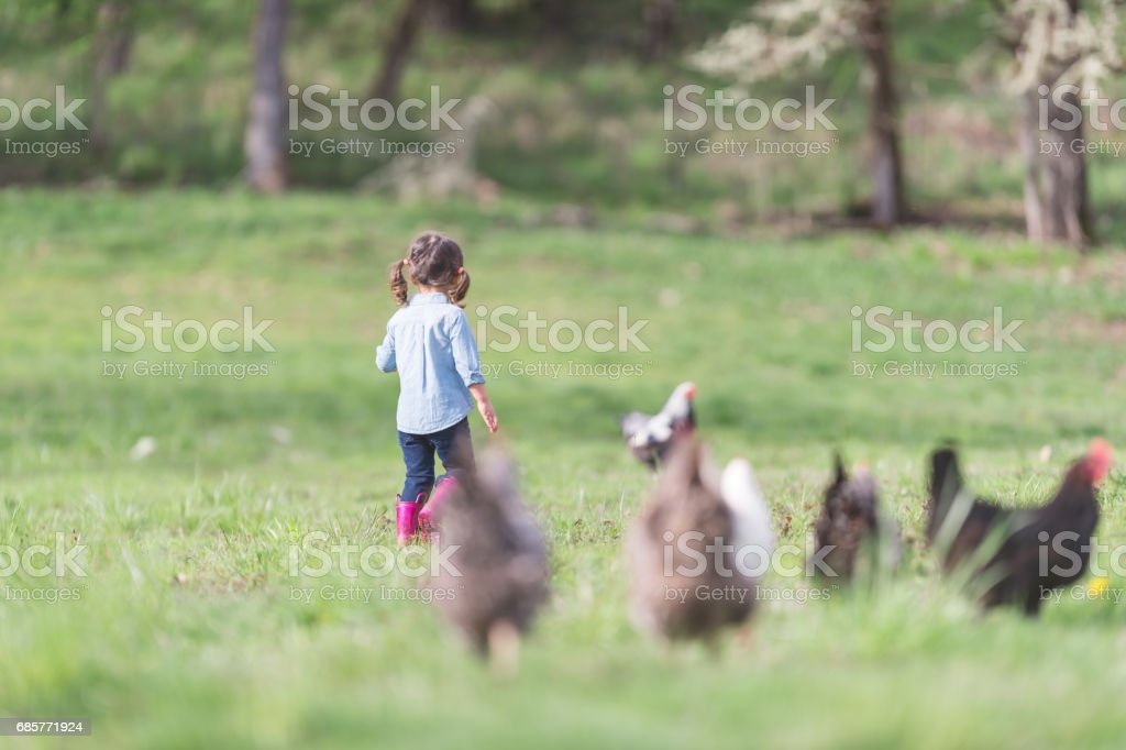Cute young girl walking outside with a flock of chickens royalty-free stock photo