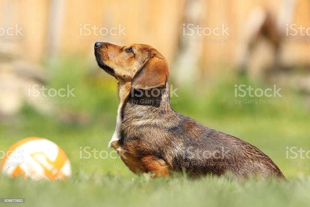 cute young hunting dog stock photo