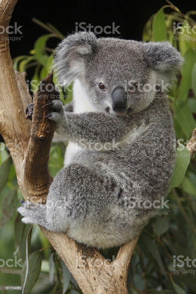 Cute Young Koala royalty-free stock photo