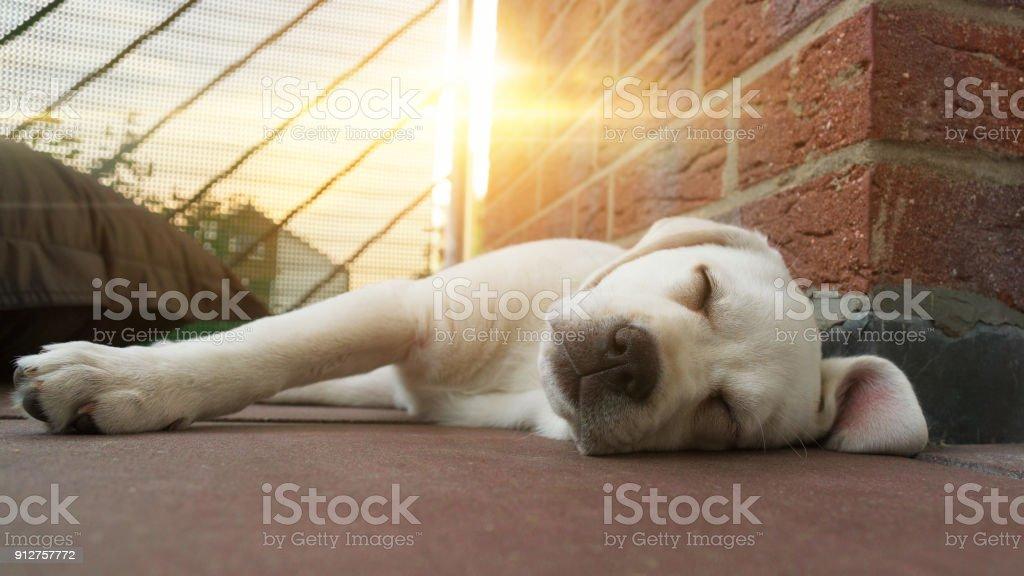 Süße junge Labrador Retriever Hund Welpe Hund liegend im freien in der Sonne schlafen – Foto