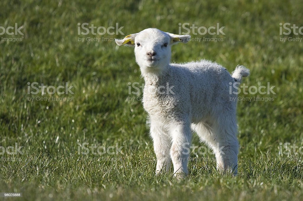 Cute young lamb at springtime royalty-free stock photo