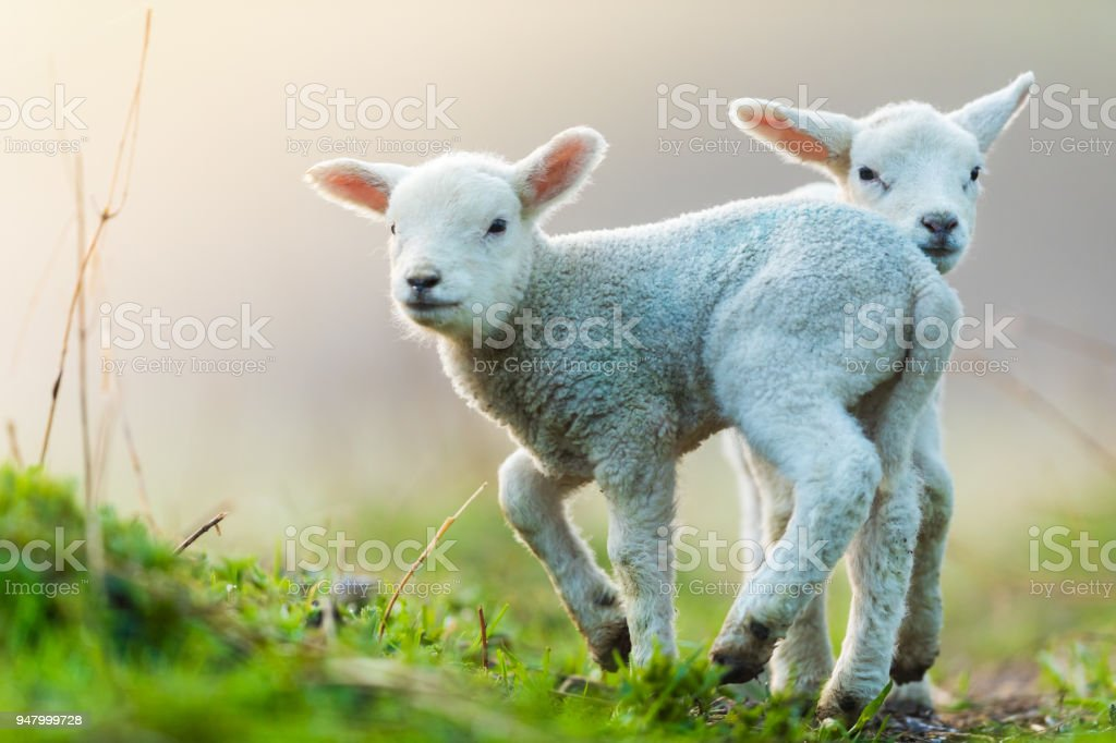 Cute young lambs on pasture, early morning in spring. stock photo
