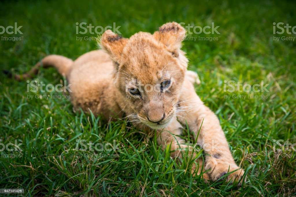 Cute young lion on the green grass. animal freedom concept photo