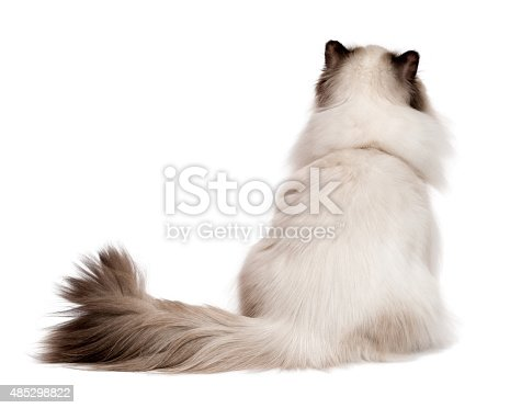 istock Cute young persian seal colourpoint cat photographed from behind 485298822