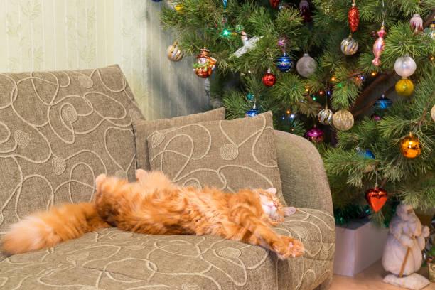 Cute young red cat of maine coon breed sleeping on the sofa in t picture id1072233228?b=1&k=6&m=1072233228&s=612x612&w=0&h=zfb 5apypp7p1coeuwyqmddwpz4x8ncc1eeu0bakiju=