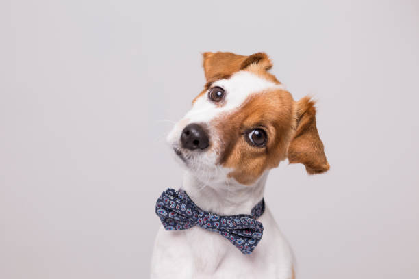 cute young small white dog wearing a modern bowtie. Sitting on the wood floor and looking at the camera.White background. Pets indoors stock photo
