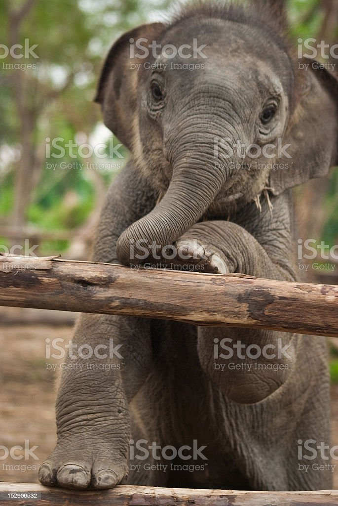 cute young thai elephant calf playing wooden fence stock photo