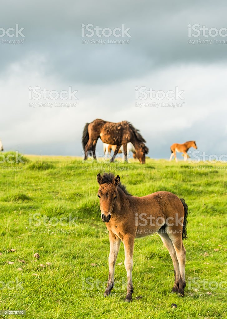 cute young wild ponny in moorland stock photo