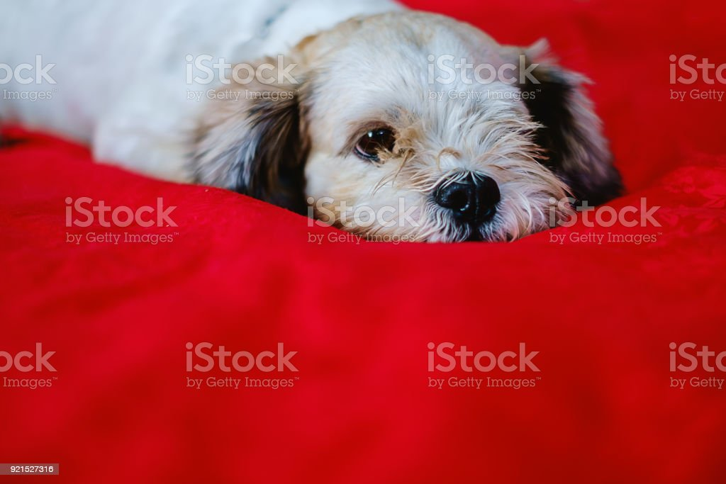 Cutely White Short Hair Shih Tzu Dog On Red Fabric Background With