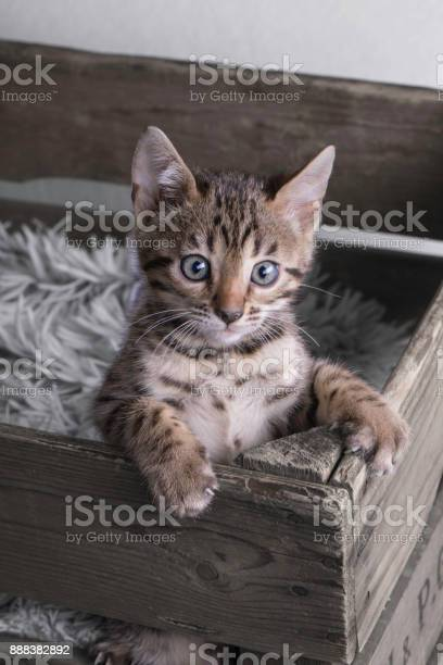 Cutest bengal kitten in wooden old box picture id888382892?b=1&k=6&m=888382892&s=612x612&h=sui37p2tubjd1pd8iev5gh9p76odjxyhqlv7brtpvfy=