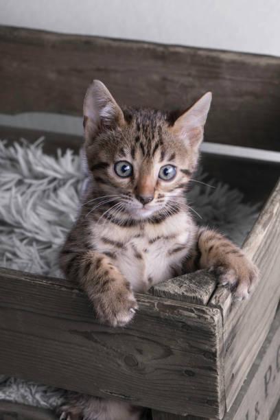 Cutest bengal kitten in wooden old box picture id888382892?b=1&k=6&m=888382892&s=612x612&w=0&h=qjyt8i5gssf2hgrnhjfwrdlvu9ryafdwmjqbegkxlua=