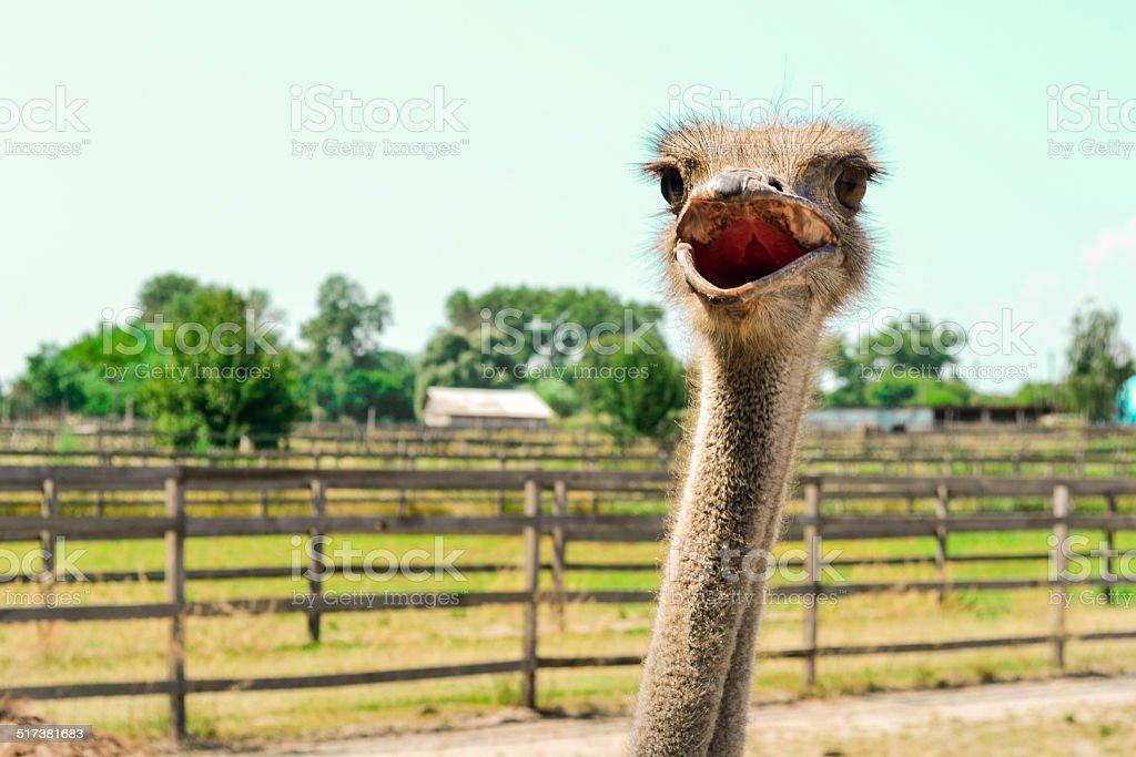 Cutey Ostrich stock photo