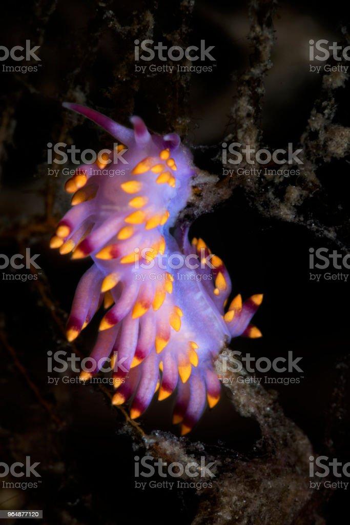 Cuthona sibogae, nudibranch royalty-free stock photo