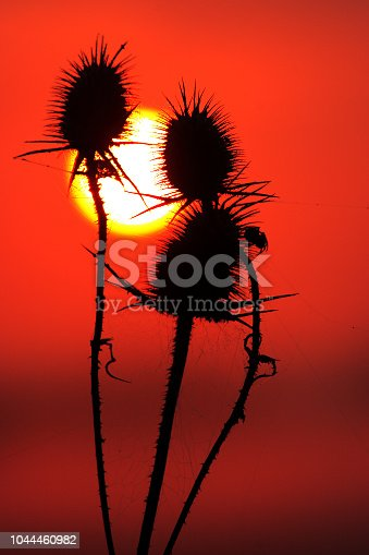 Cutleaf teasel with sun at sunset