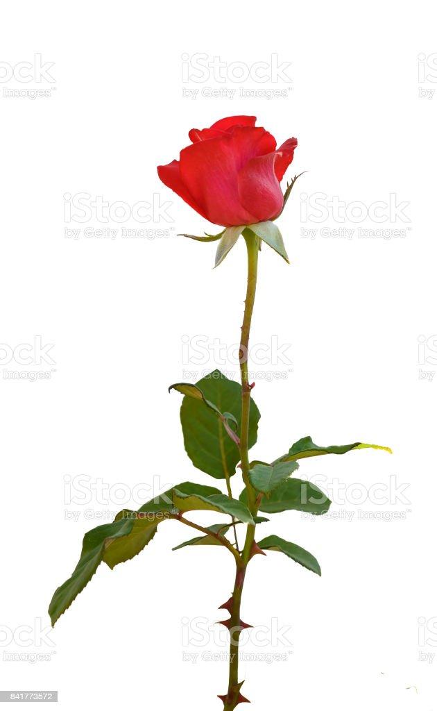 cutout   rose stock photo